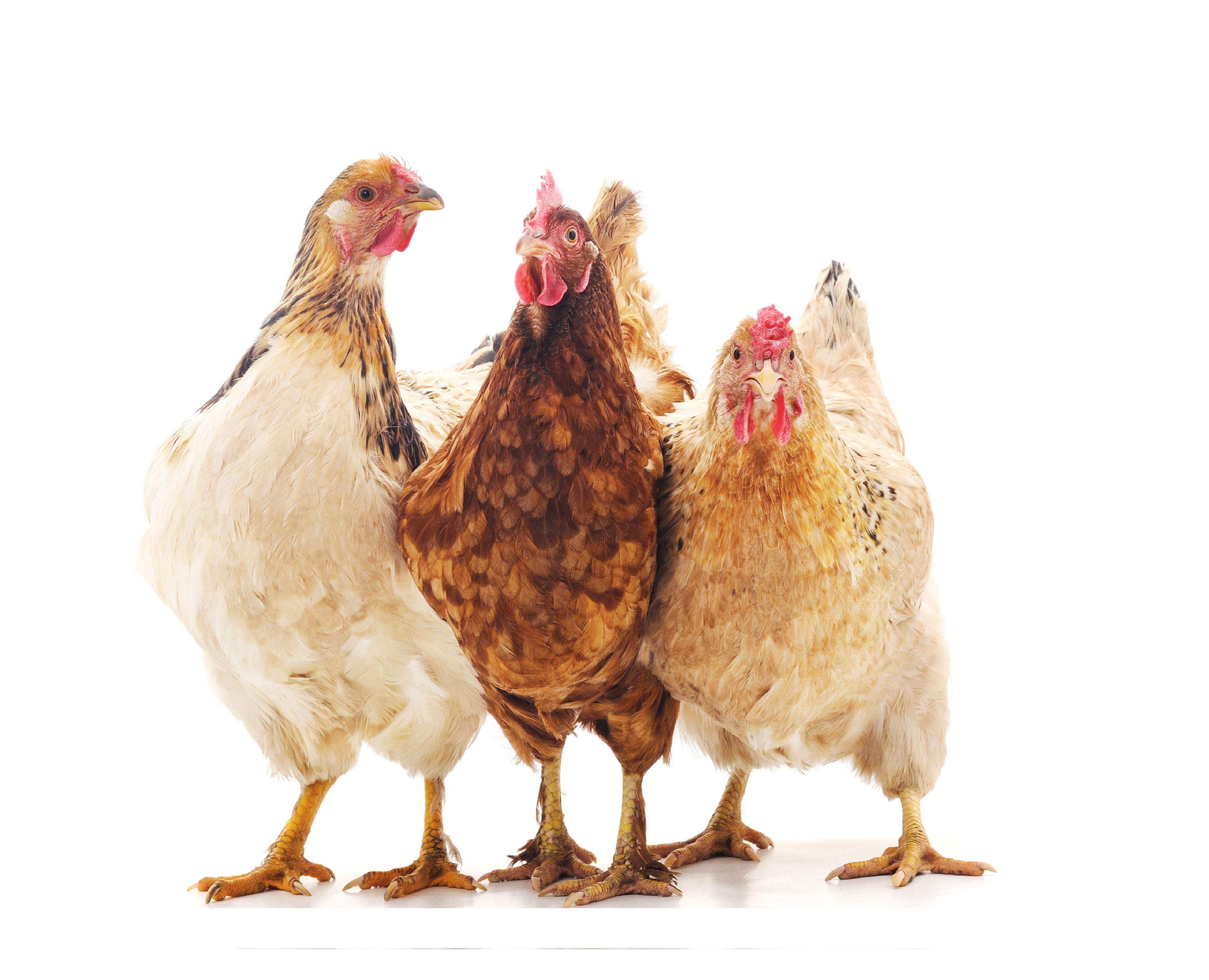 Kalkkorrels in pikstenen voor kippen en kuikens